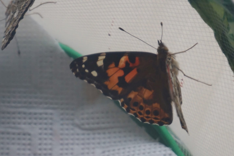 insect lore die kleine botin 7 1