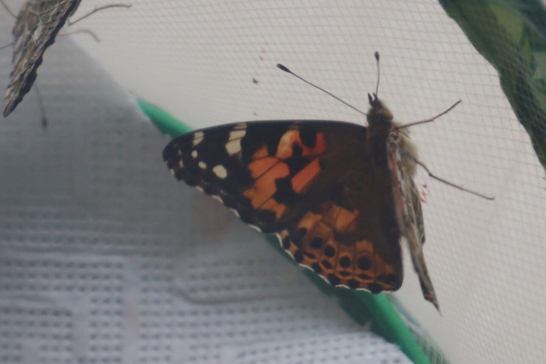 insect lore die kleine botin 7