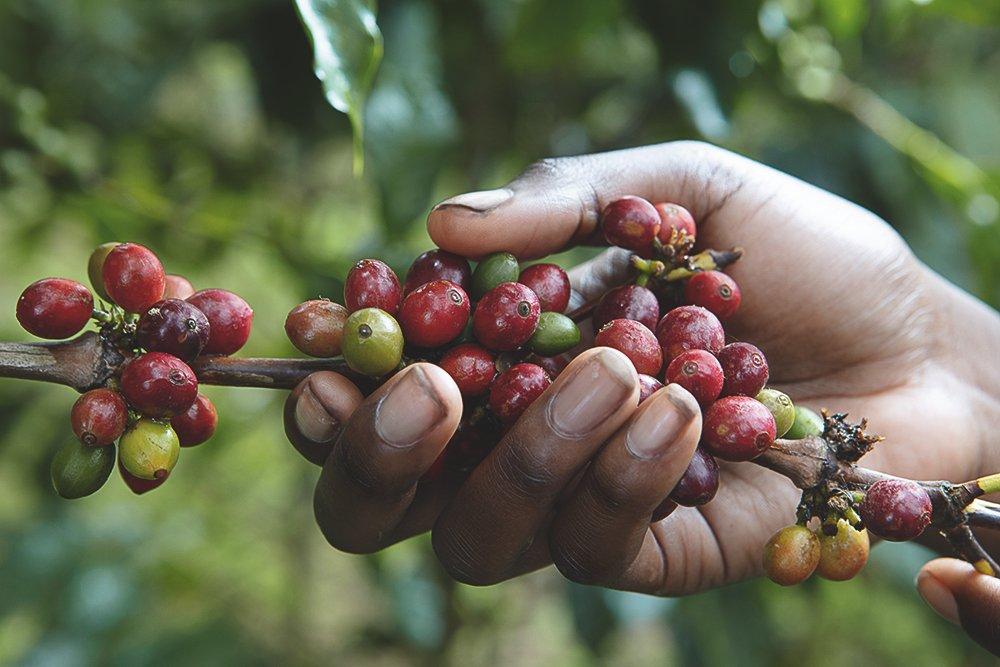 Kaffeekirschen 1