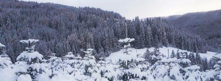 Oh Tannenbaum – Warum der Weihnachtsbaum im Topf weniger nachhaltig ist, als wir denken