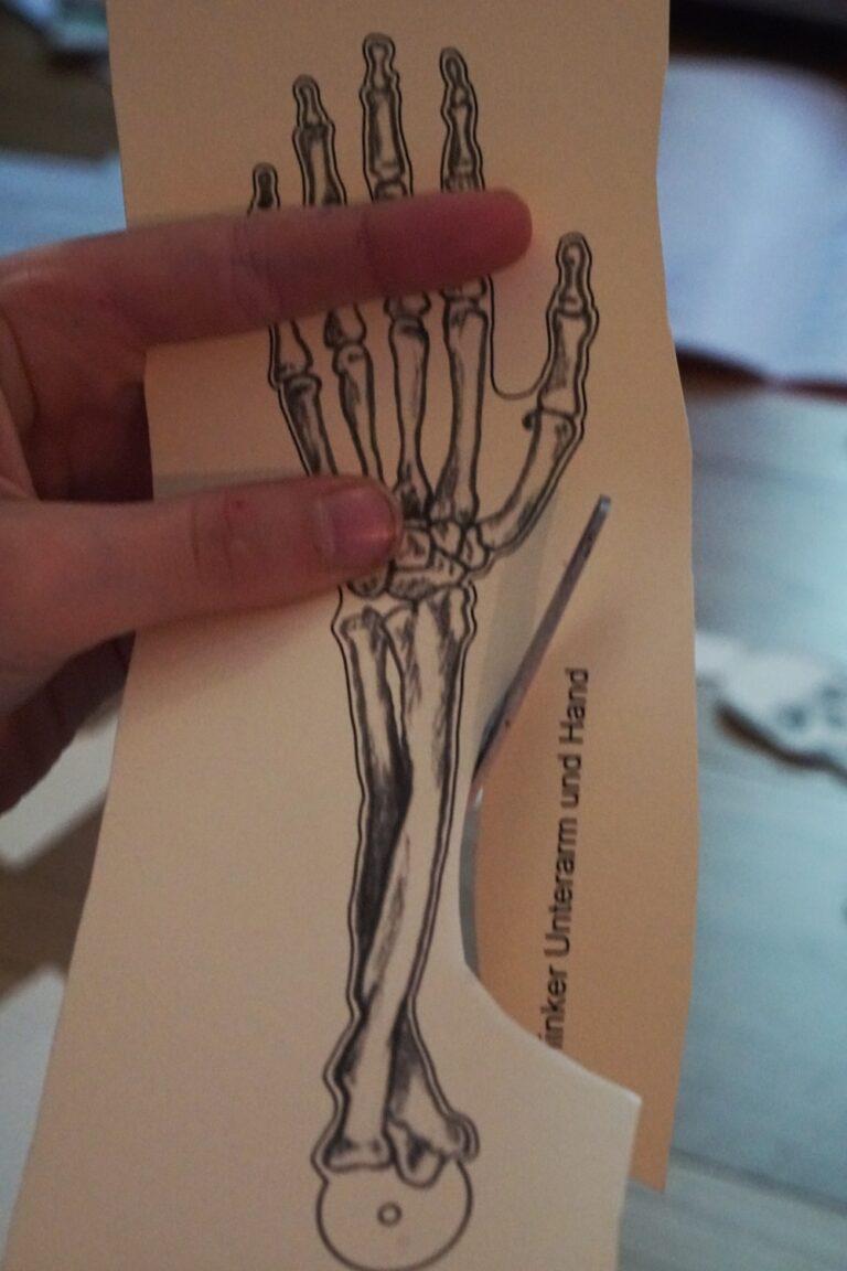 Anatomie für Kinder | Wir basteln ein Skelett und eine bewegliche Hand